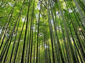 Единственная в Абхазии бамбуковая роща