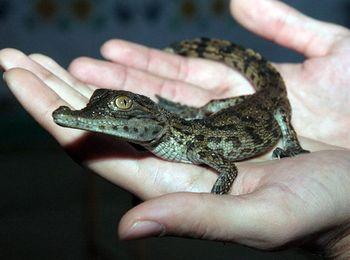 Самым маленьким крокодильчикам всего три месяца