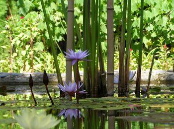 Кувшинка Нимфея - водные растения в саду