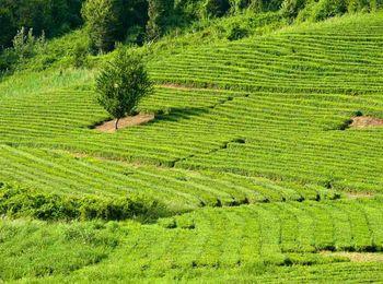 Красивейшие чайные плантации