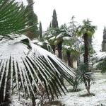 Сочинские пальмы покрытые снегом