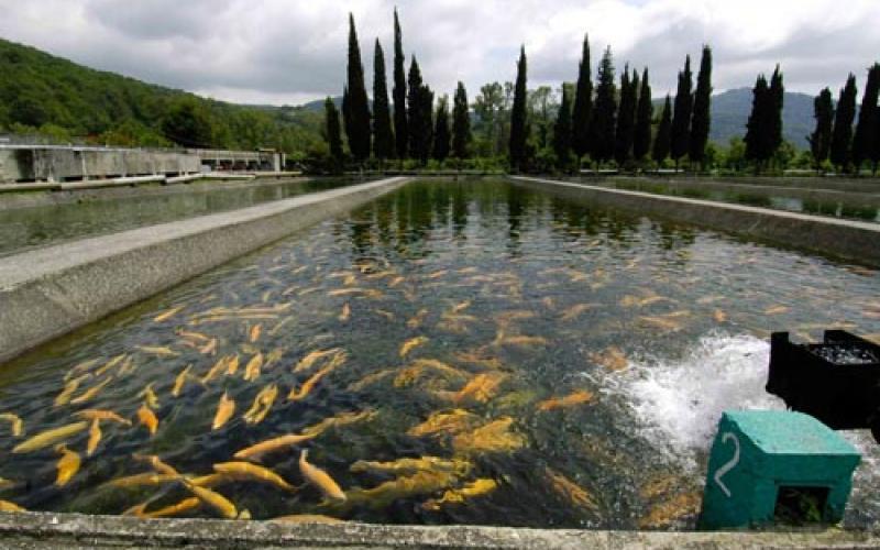 Бассейн с множеством оранжевых форелей на фоне высоких деревьев