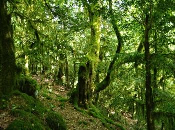 Старые самшиты в прекрасном тисо-самшитовом лесу