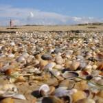 Уникальный пляж с множеством ракушек в Визятево