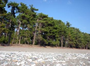 Зеленые высокие сосны на чистейшем побережье