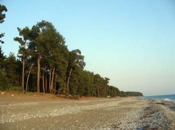 Сосновый лес Пицунды