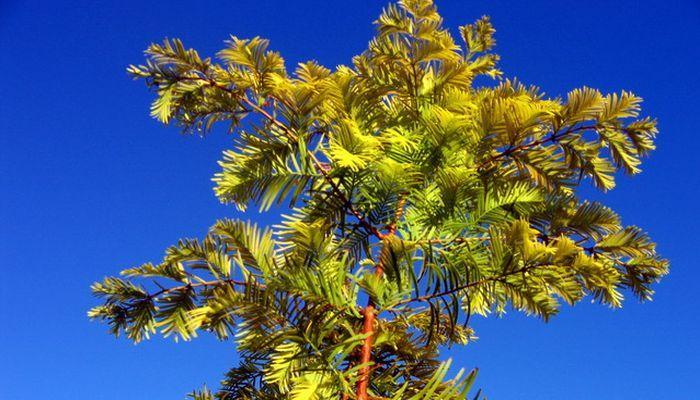 Разноцветные варианты листвы метасеквойи