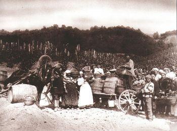 Сбор винограда в Массандре