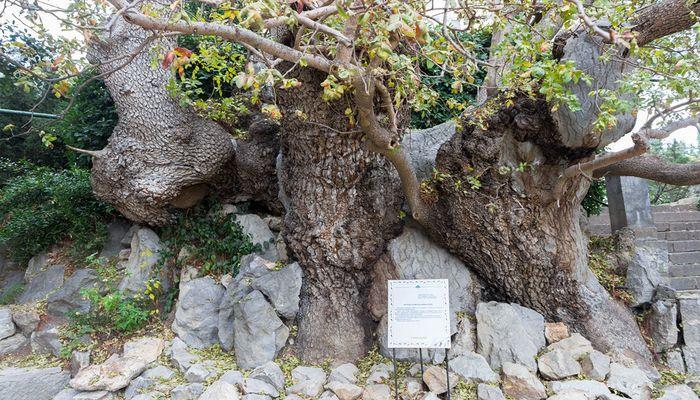 1000-летняя фисташка туполистная