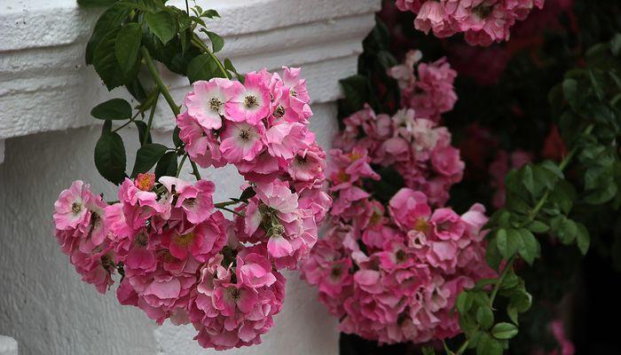 Цветущий Клематис