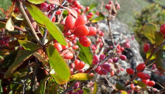 Кисти ягод Барбариса