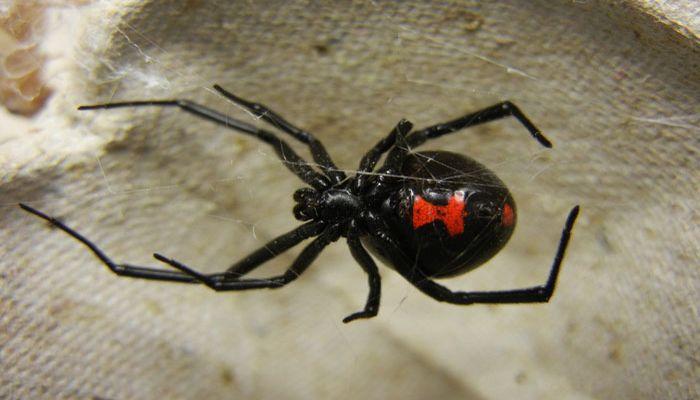 Ядовитый паук - Каракурт